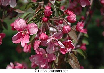 Spring Flower Apple Blossoms