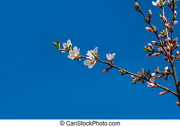 spring flower apricots on a blue background, with place for your text