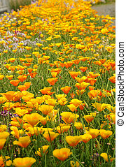 Spring flower bed (Eschscholzia californica). It was taken by Japan in the spring.