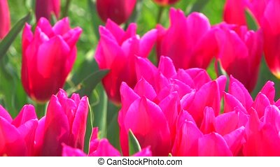 Flower Bed of swaying pink tulips - Spring Flower Bed of...