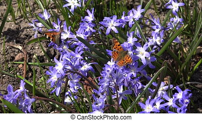 spring flower butterflies - blue squill flowers with small...