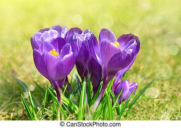 Spring flower Crocus