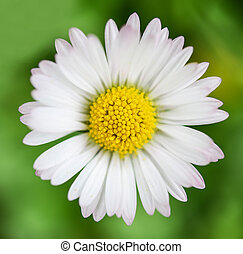 Spring flower Daisy extreme macro shot