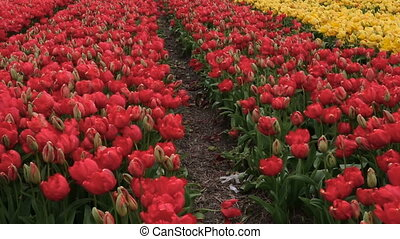 spring flower field at the Netherlands - spring blooming...
