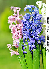 Spring flower Hyacinth.