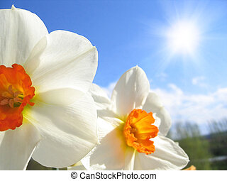 Spring flower - narcissus on the background of sky and...