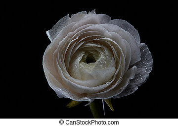Spring flower of a ranunculus isolated on a black background