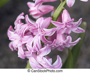 Spring flower of pink Hyacinth in the garden