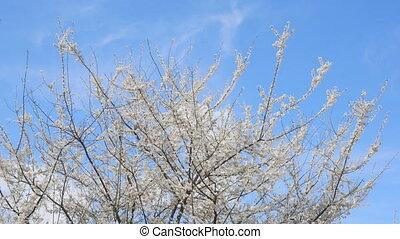spring flowering against the blue