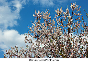 Spring flowering apricot tree against the background of the cloudy blue sky