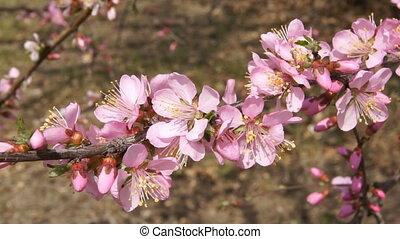 Spring Flowering Branch