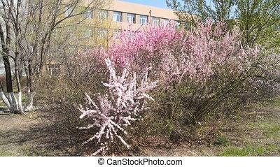 Spring Flowering Bushes