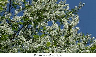 Spring flowering cherry panorama from below upwards