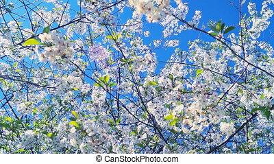 spring flowering cherry