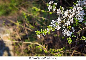 Spring flowering cherry, white flowers
