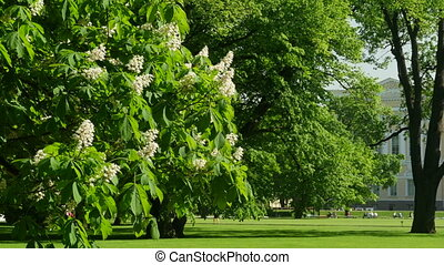 Spring flowering chestnut tree