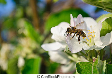 Spring. Flowering fruit tree. Bee pollinating flowers