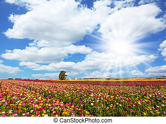 Kibbutz fields - Spring flowering. Kibbutz fields of...