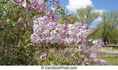 Spring Flowering Lilac Bush