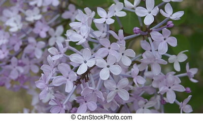Spring Flowering Lilac