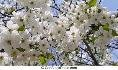 spring flowering of a tree