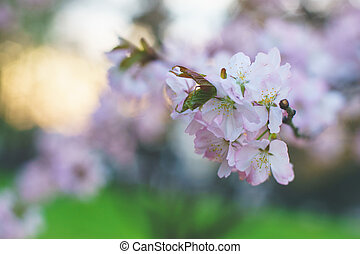 Beautiful pink and white flowers on a tree in spring.