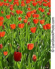 Spring flowering red tulips.