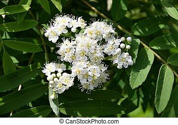 Spring flowering Rowan
