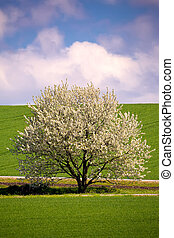 spring flowering tree in countryside - Field of wheet with...