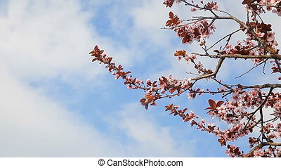 Spring flowering trees blossom with