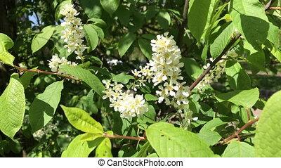 Spring, flowering trees. Juicy green young leaves sway in...