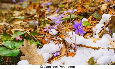 spring flowers and melting snow,
