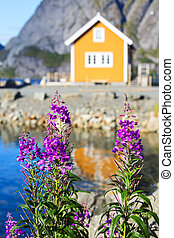 Spring flowers and typical norwegian fishing village with traditional yellow rorbu Lofoten Islands, sokrisoy, Norway.
