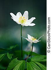 Spring flowers - Anemone sylvestris. First spring flowers