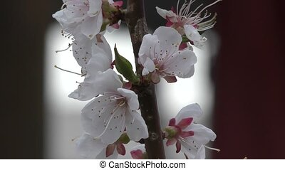 Spring flowers apricot