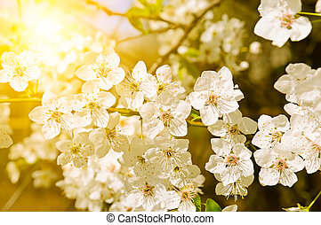 Beautifully blossoming tree branch. Cherry - Sakura and sun with a natural colored background.