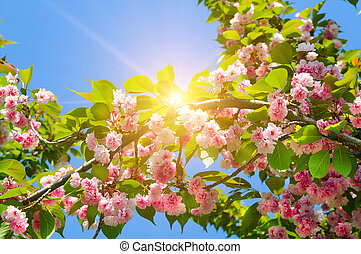 Cherry - Sakura and sun with a natural colored background.