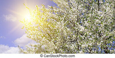 Beautifully blossoming tree branch. Cherry - Sakura and sun with a natural colored background. Wide photo.