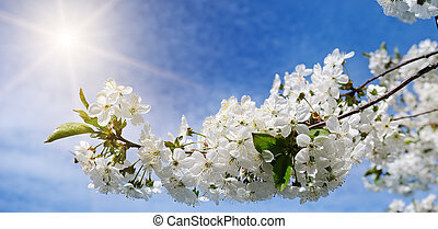 Cherry - Sakura and sun with a natural colored background. Wide photo.