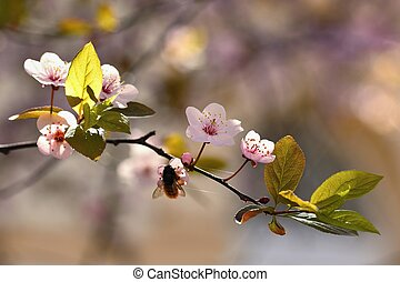 Spring flowers. Beautifully blossoming tree branch. Japanese Cherry - Sakura and sun with a natural colored background.