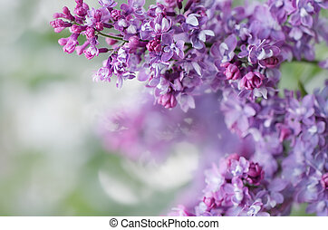 Blooming lilacs. Wallpapers with spring flowers