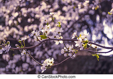 Spring flowers. Blossoming cherry tree branch with flowers. Bokeh. Sakura, natural background. Closeup