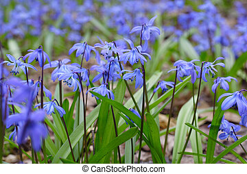 Spring flowers bluebells in the forest