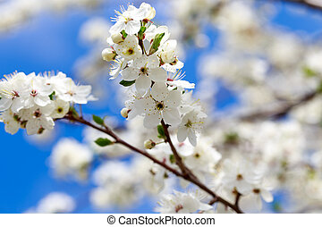 Spring flowers. Branches of blossoming cherry against the blue sky. White flower. Spring background. Cherry blossoms.