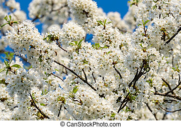 Spring flowers. Cherry blossoms, white flowers on a background of blue sky.