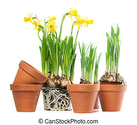 Spring Flowers - Daffodils and Plant Pots - Yellow daffodils...