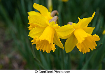 Spring flowers daffodils
