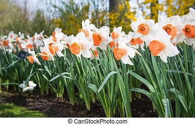 spring flowers daffodils