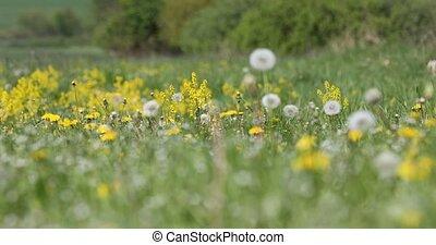 spring flowers dandelions in meadow, springtime scene -...