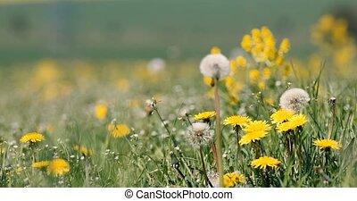 spring flowers dandelions in meadow, springtime scene